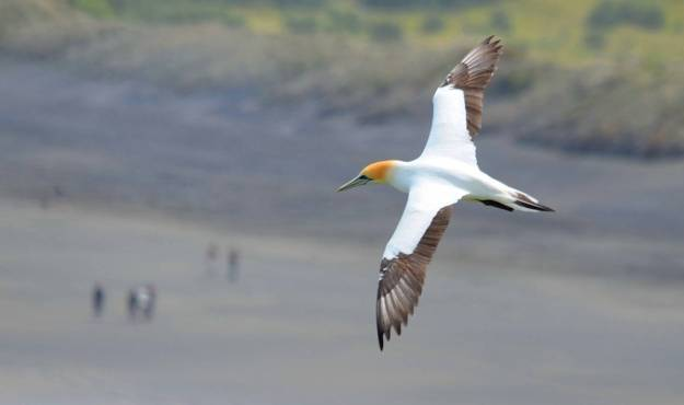 australasian-gannet-in-flight-above-the-muriwai-gannet-colony-waitakere-new-zealand-pic1