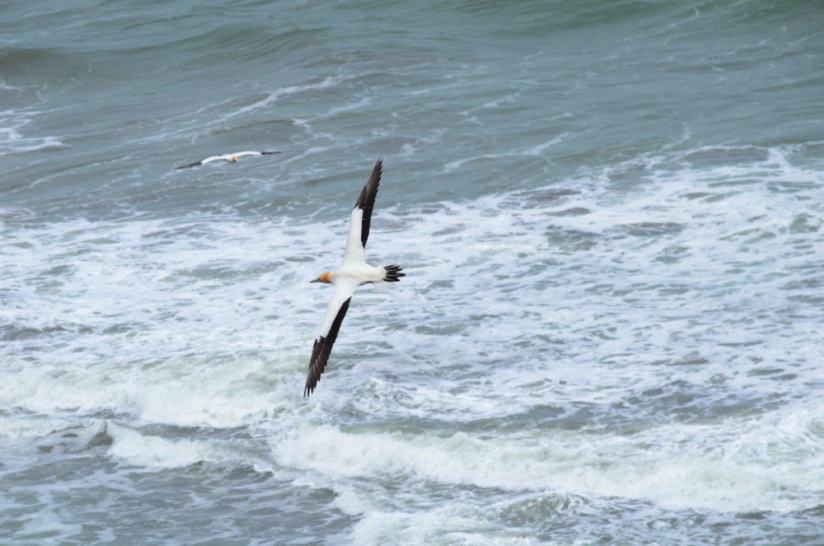 australasian-gannet-in-flight-at-the-muriwai-gannet-colony-waitakere-new-zealand-2