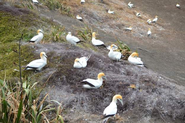 australasian-gannets-at-the-muriwai-gannet-colony-waitakere-new-zealand-2