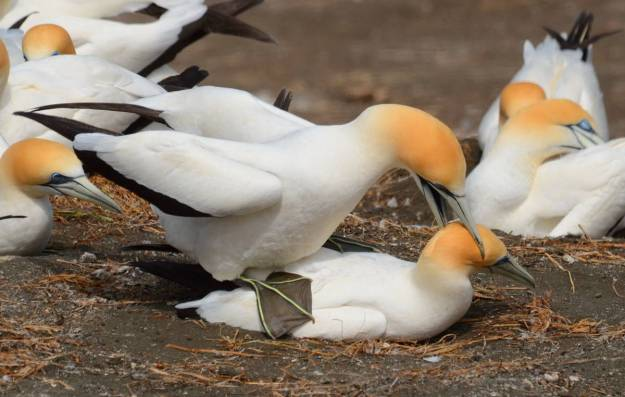 australasian-gannets-breeding-at-the-muriwai-gannet-colony-waitakere-new-zealand-10