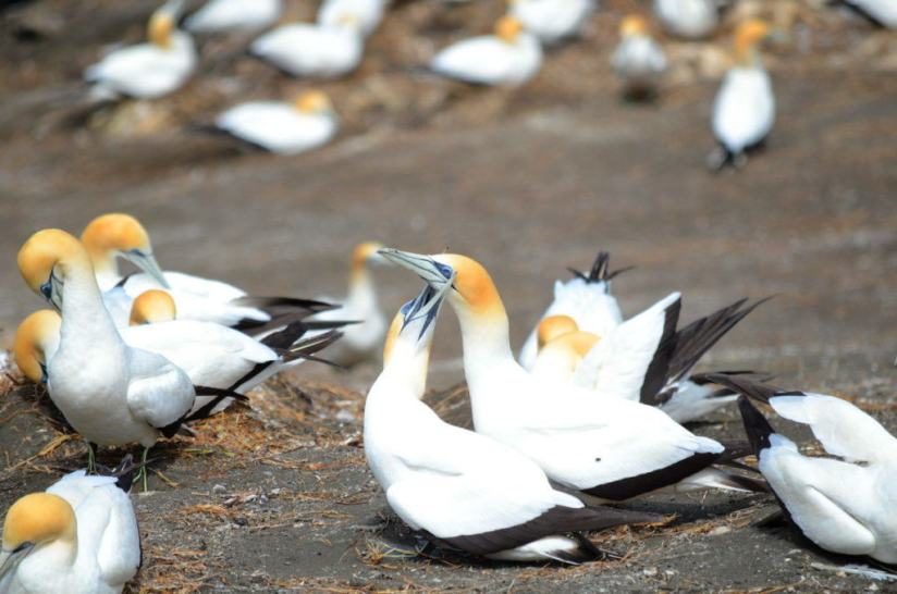 australasian-gannets-mating-at-the-muriwai-gannet-colony-waitakere-new-zealand-3
