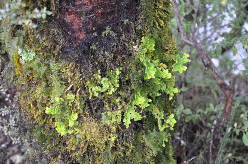 An image of plant life growing on the side of a tree along the Tawhai Falls Walk in Tongariro National Park in New Zealand. Photography by Frame To Frame - Bob and Jean.