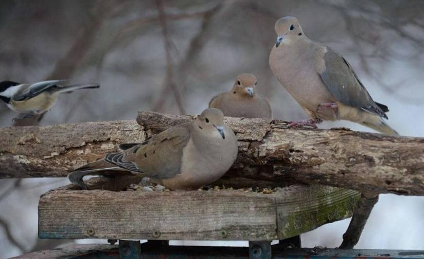three-doves