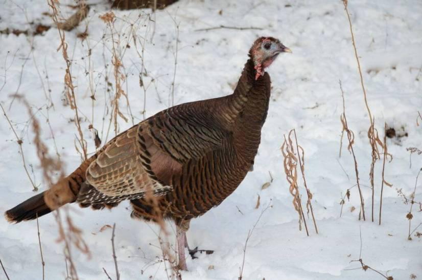 wild-turkey-lynde-shores-whitby-ontario-pic-2