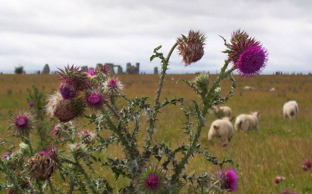 An image of sheep standing behind a thistle plant with Stonehenge in the background in Wiltshire, England.  Photography by Frame To Frame - Bob and Jean.