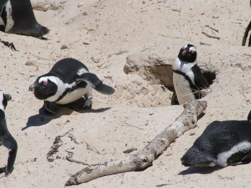 An image of an African penguin defending its mate and nest at Boulders Beach, South Africa.