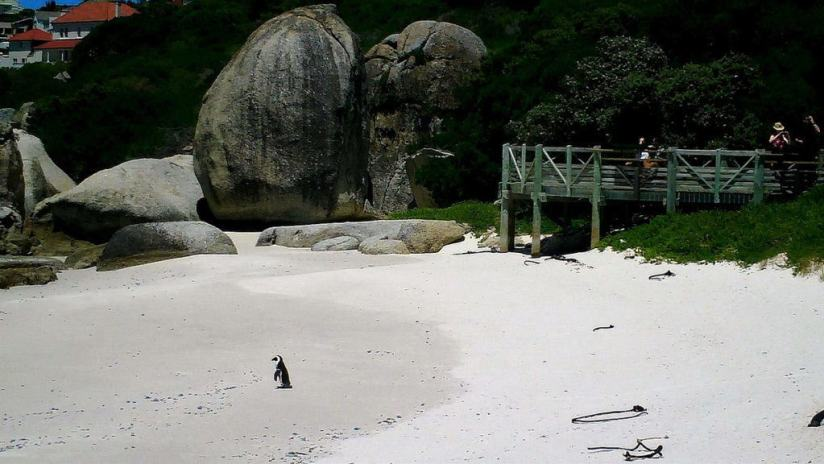 african penguin on the beach at boulders beach, table mountain national park, south africa