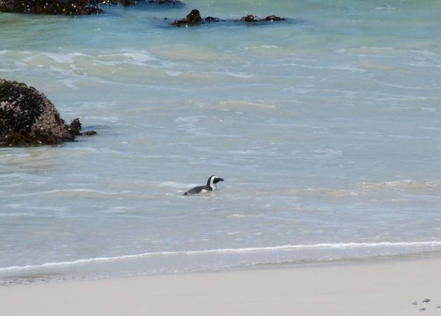 An image of an African penguin swimming along the shore at Boulders Beach, South Africa.