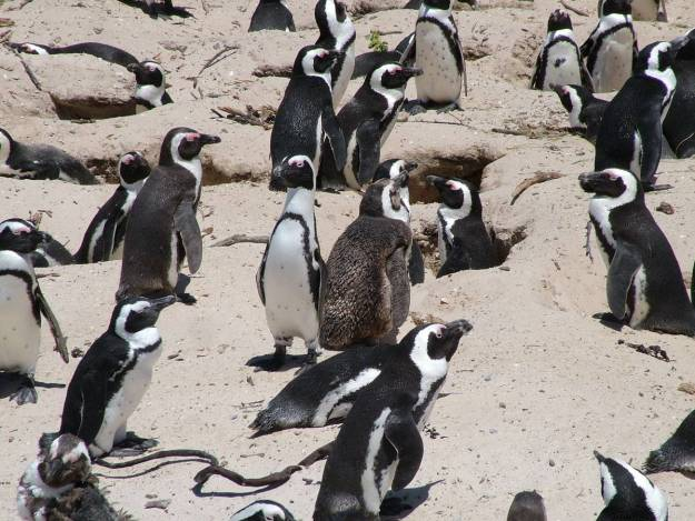 african penguins at boulders beach, table mountain national park, south africa, pic 2
