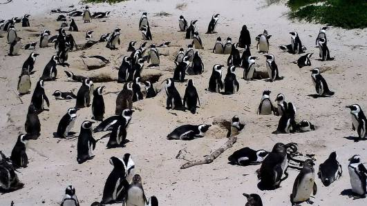 An image of the african penguin colony at boulders beach in Table Mountain National Park, South Africa. Photography by Frame To Frame - Bob and Jean