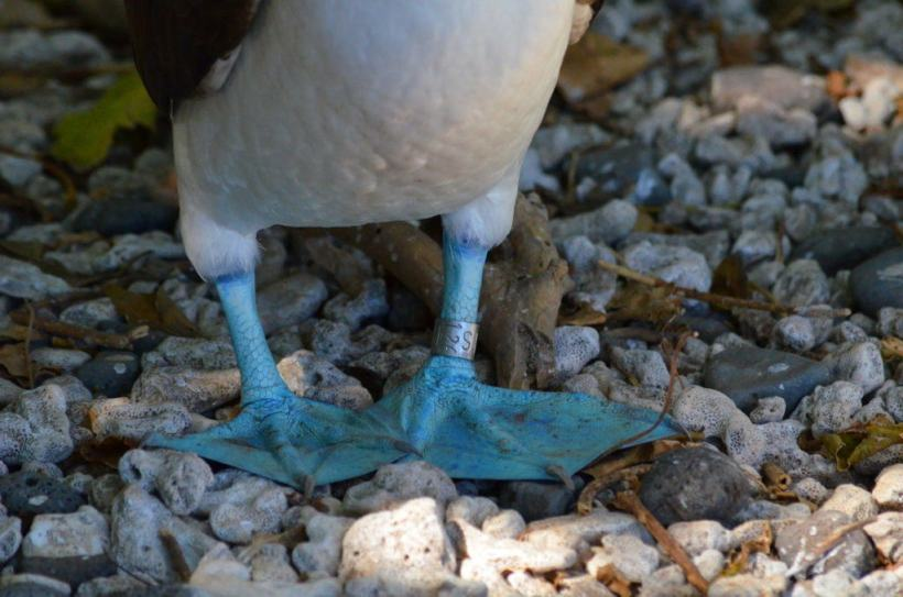 An image of the blue feet of a blue-footed booby on Isla Isabel off San Blas, Mexico. Photography by Frame To Frame - Bob and Jean.