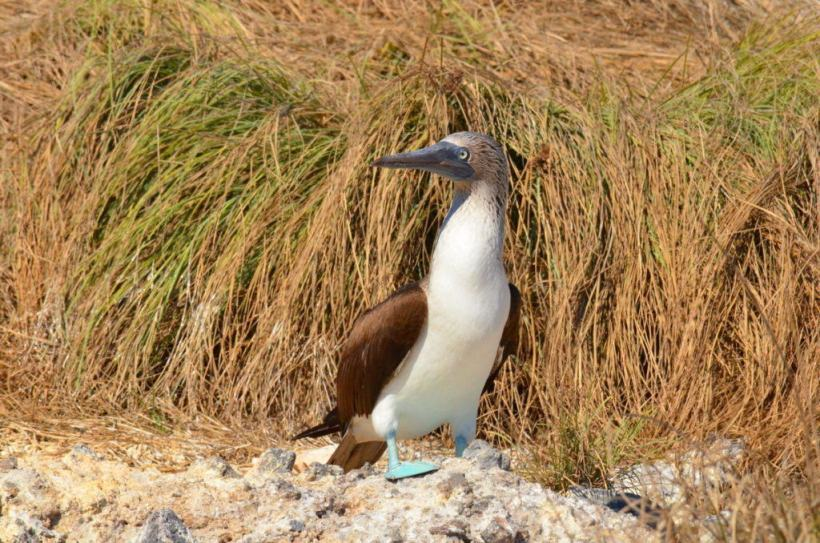 An image of a blue-footed booby bird sitting on a rock on Isla Isabel off San Blas, Mexico. Photography by Frame To Frame - Bob and Jean.