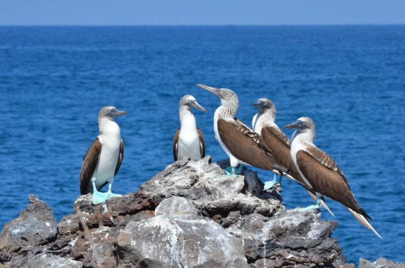 An image of five blue-footed booby birds sitting on a rock on Isla Isabel off San Blas, Mexico. Photography by Frame To Frame - Bob and Jean.