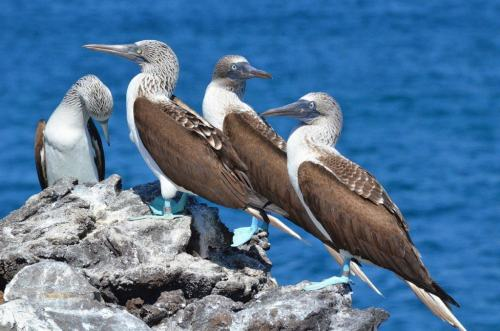 An image of blue-footed booby birds on Isla Isabel off San Blas, Mexico. Photography by Frame To Frame - Bob and Jean