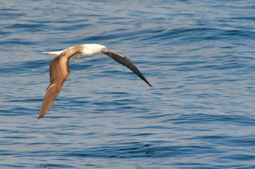 An image of a Blue-footed booby in flight off Isla Isabel in Mexico. Photography by Frame To Frame - Bob and Jean.