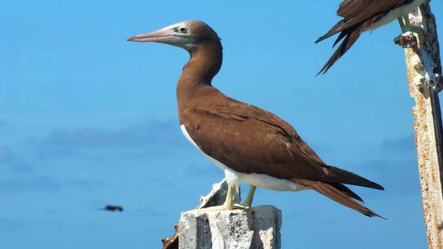 An image of a Brown booby on Isla Isabel in Mexico. Photography by Frame To Frame - Bob and Jean.