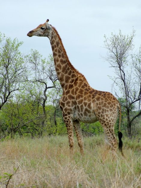 An image of a giraffe standing tall on the grasslands in Kruger National Park in South Africa. Photography by Frame To Frame - Bob and Jean.