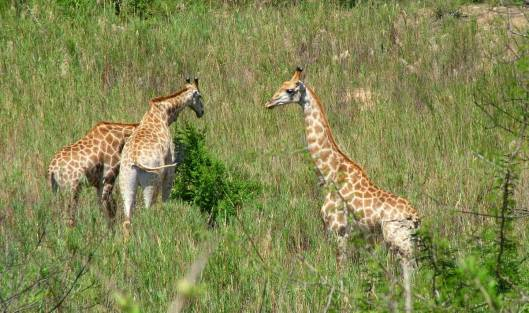 An image of three giraffes eating off the tops of bushes in Kruger National Park in South Africa. Photography by Frame To Frame - Bob and Jean.
