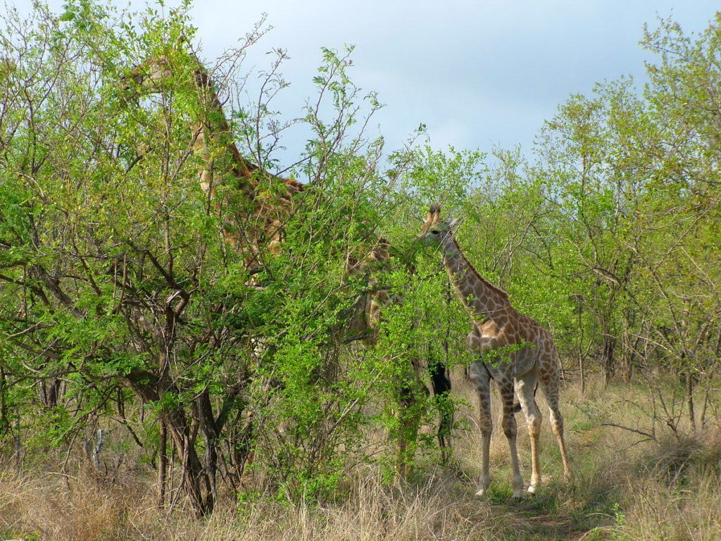 giraffes-in-kruger-national-park-south-africa-pic-6