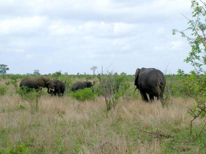 herd-of-elephants-in-kruger-national-park-south-africa