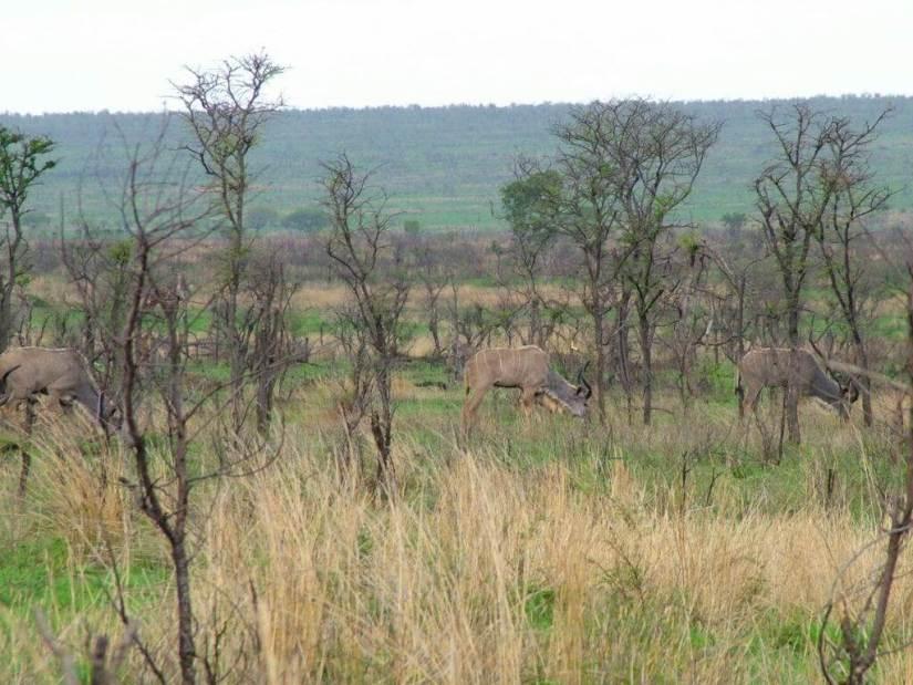 herd-of-kudu-in-kruger-national-park-south-africa