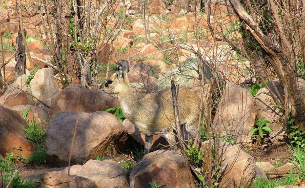 An image of a female Klipspringer antelope among rocks near Nkumbe Lookout in Kruger National Park in South Africa.