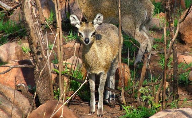An image of a Juvenile Klipspringer antelope near Nkumbe Lookout in Kruger National Park in South Africa.
