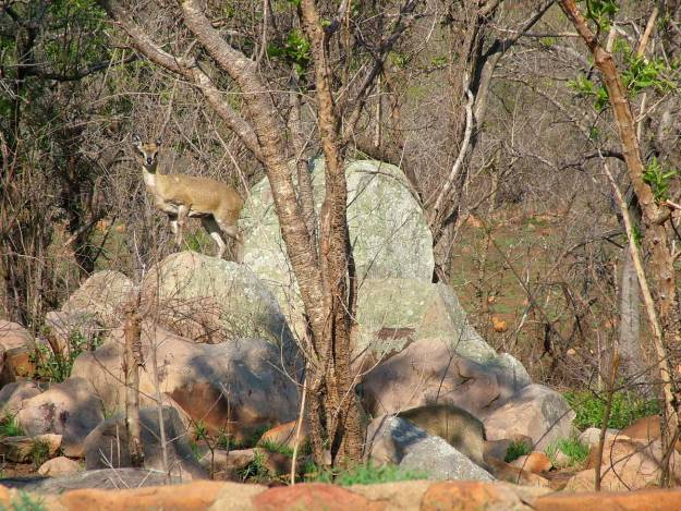 An image of a female Klipspringer antelope standing on a rock near Nkumbe Lookout in Kruger National Park in South Africa.