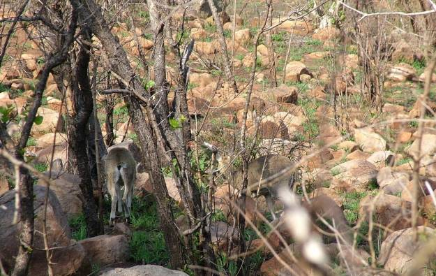 An image of Klipspringer antelope among rocks near Nkumbe Lookout in Kruger National Park in South Africa.