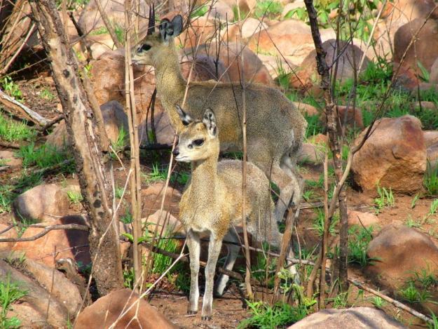 An image of a Juvenile Klipspringer antelope with adult klipspringer near Nkumbe Lookout in Kruger National Park in South Africa.