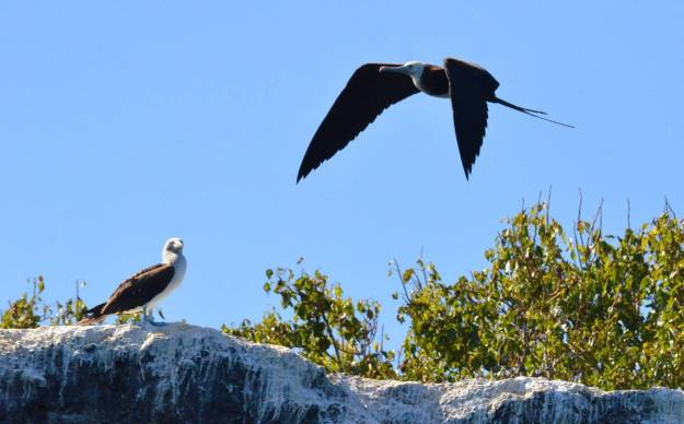 An image of a magnificent frigatebird flying above a blue-footed booby on Isla Isabel in Mexico. Photography by Frame To Frame - Bob and Jean.