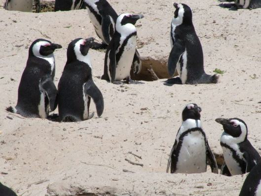 An image of pairs of african penguins sit together in their nests at boulders beach near Cape Town, South Africa. Photographyby Frame To Frame - Bob and Jean.