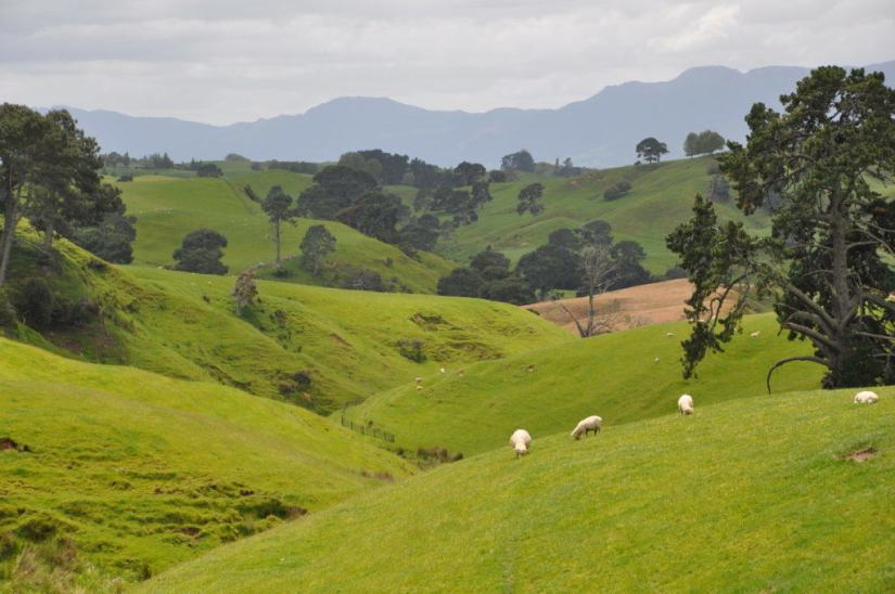 An image of sheep on the pasture lands at Hobbiton in New Zealand. Photography by Frame To Frame - Bob and Jean.