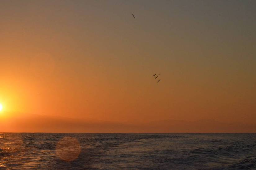 frigatebirds in flight at sunrise over the Pacific Ocean off San Blas, Mexico