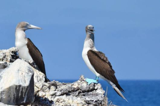 An image of two blue-footed boobies sitting on rocks on Isla Isabel in Mexico. Photography by Frame To Frame - Bob and Jean.