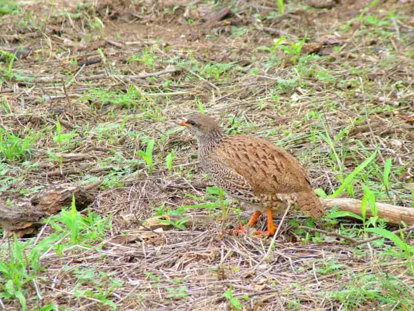 An image of a Natal spurfowl in Kruger National Park, South Africa. Photography by Frame To Frame - Bob and Jean.