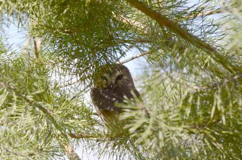 Image of Northern Saw-whet Owl sitting on a tree limb near Oshawa, Ontario, Canada. Photography by Frame To Frame - Bob and Jean