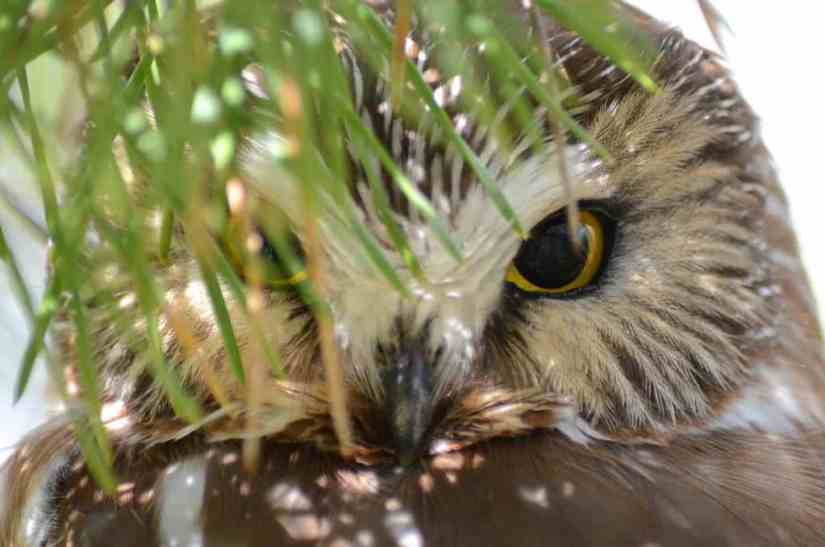 Closeup image of a Northern Saw-whet Owl behind a tree branch in the Oshawa area, Ontario, Canada. Photography by Frame To Frame - Bob and Jean