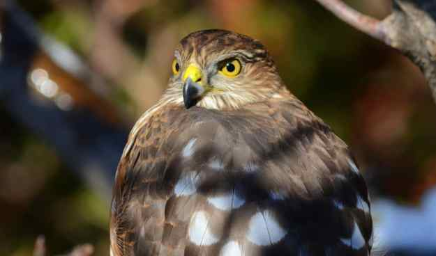 An image of a sharp-shinned hawk sitting in a tree in Toronto, Ontario. Photography by Frame To Frame - Bob and Jean