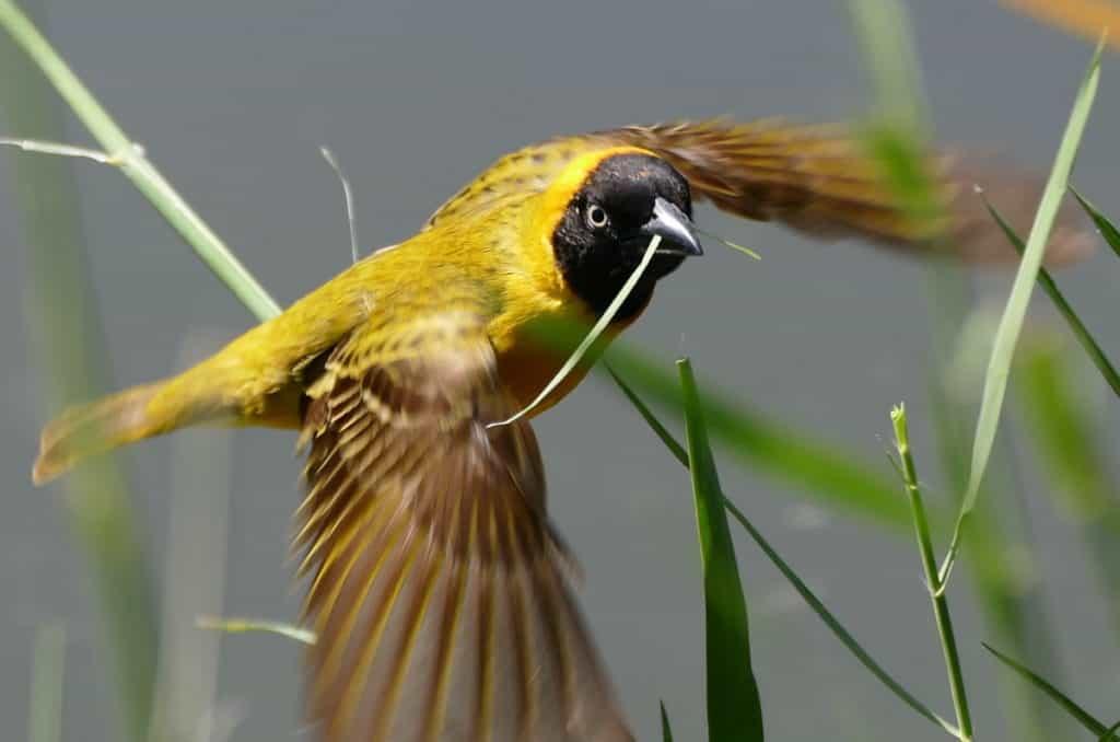 Image of a lesser-masked weaver in flight near Skukuza Rest Camp in Kruger National Park