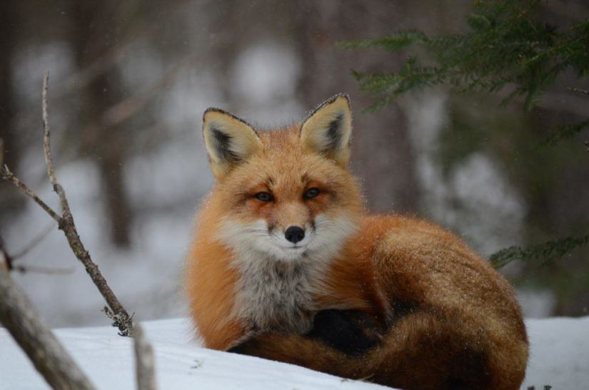 Image of a red fox sitting on the snow during a snowstorm in Algonquin Park in Ontario, Canada. Photography by Frame To Frame - Bob and Jean
