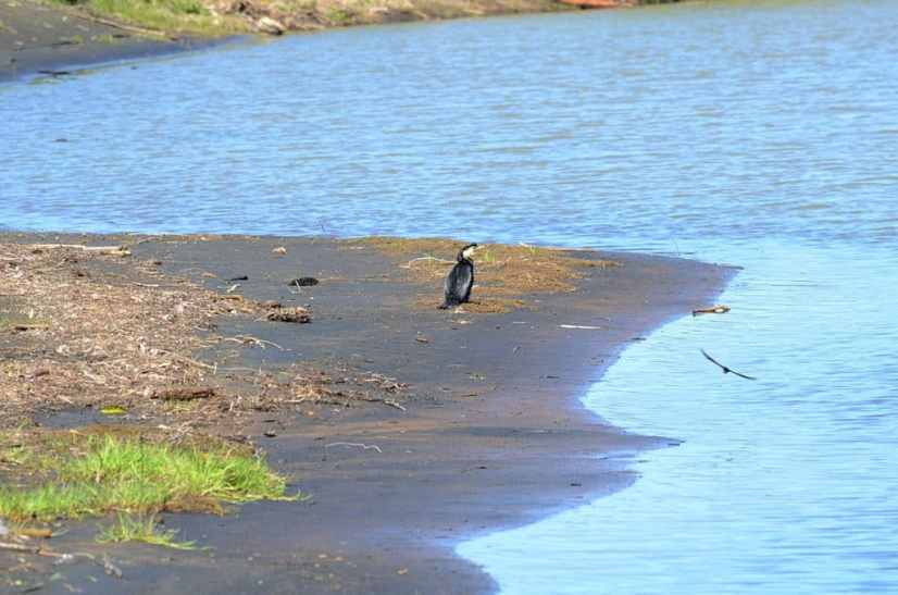 An image of a Little Pied Cormorant on the Karekare Stream near Auckland, New Zealand.