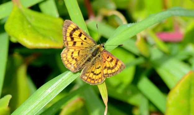 An image of a Rauparaha's Copper Butterfly near Muriwai, New Zealand