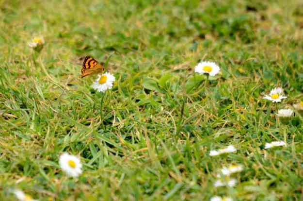 an image of a Rauparaha's Copper Butterfly on daisies near Muriwai, New Zealand