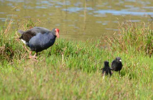 An image of an Australasian Swamphen and her chicks on the edge of the Karekare Stream near Auckland, New Zealand.