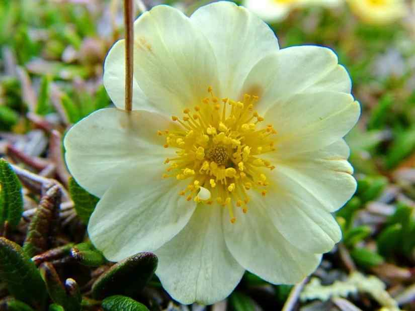 northern white mountain avens flower on quirpon island, newfoundland, canada