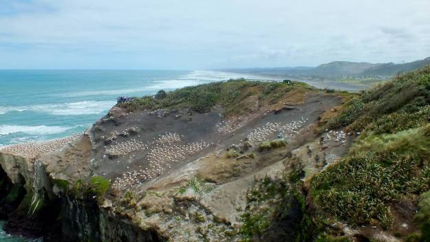 An image of the Gannet Colony at Muriwai in New Zealand.