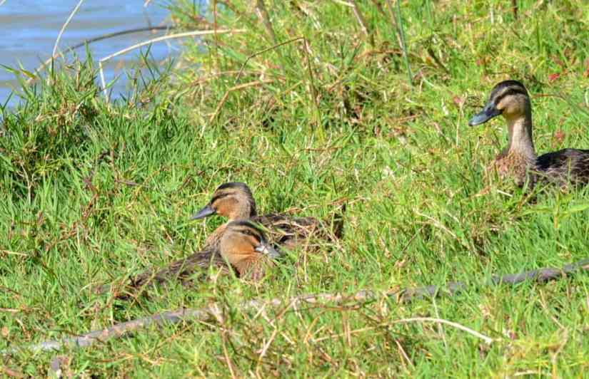 An image of Pacific black ducks on the bank of the Karekare Stream near Auckland, New Zealand.