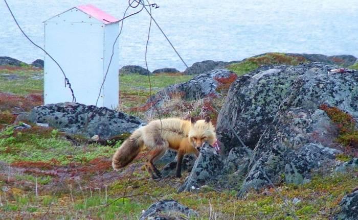 red fox on quirpon island, newfoundland, canada