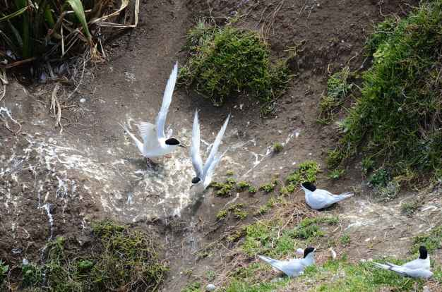 An image of White-fronted Terns at Muriwai in New Zealand.